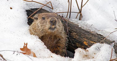 a groundhog comes up from his snowy den