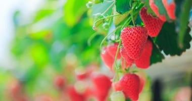 strawberries field
