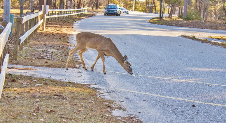 deer in road in front of car