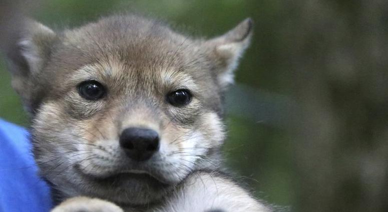 Meet 'Gloria' the newborn endangered wolf pup born in St. Louis