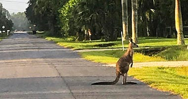 A kangaroo crosses the street on Tuesday, Sept. 25, 2018, in Jupiter, Fla. The kangaroo has escaped from an animal sanctuary in South Florida.