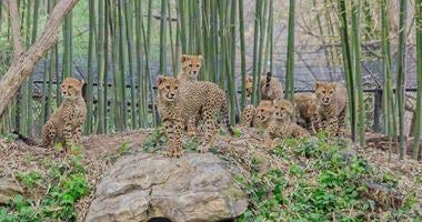Cheetah cubs at Saint Louis Zoo.