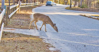 deer in road in front of car