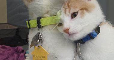 Humane Society of Missouri cats