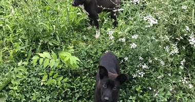 Puppies rescued by Stray Rescue of St. Louis on Friday, June 29.