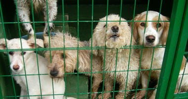 Group of stray dogs in the dog pound. Green wire cages. Kennel. Poodle, Spaniel, white dogs