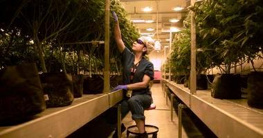Marijuana plants at Cresco Labs medical marijuana cultivation facility on August 8, 2018, in Joliet, Ill. .jpg