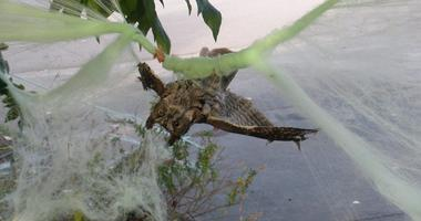 owl stuck in Halloween cobwebs