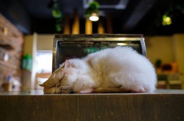 Gatos japones