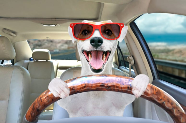 Portrait of a funny dog Jack Russell Terrier in sunglasses behind the wheel of a car