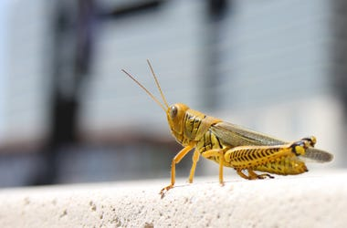 Grasshopper located in the middle of town. Could it be the Cricket in Times Square?