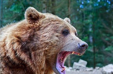 Brown bear with open mouth portrait in Carpathian mountains, Ukraine