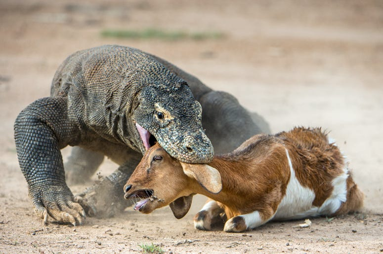 The Komodo dragon (Varanus komodoensis) attacks the prey. It is the biggest living lizard in the world. Island Rinca. Indonesia.