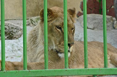 Lioness in small cage. Prisonner. Animal abuse. Jaguar, pallas.