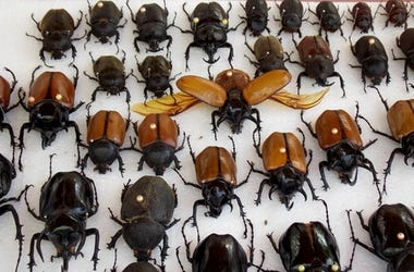 insectos raros