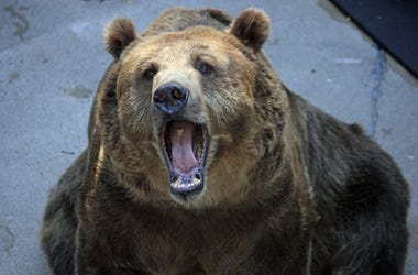 oso gigante