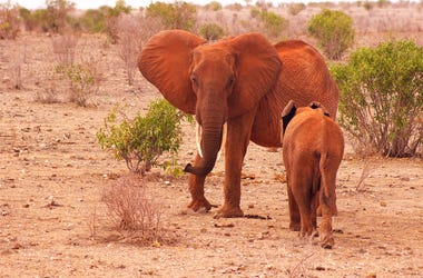 Elephant baby with mother in Africa Tsavo National Park in a Kenya