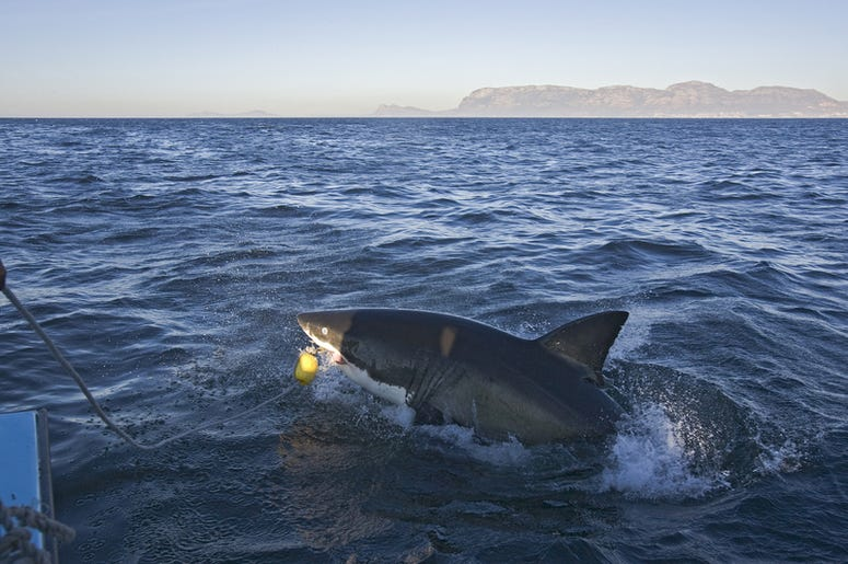 The shark that attacked us from the boat in Cape Town, everyone should see this scene once in your life, the colorful life there is not anywhere in the world