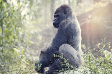 Gorilla Camina Como Humano