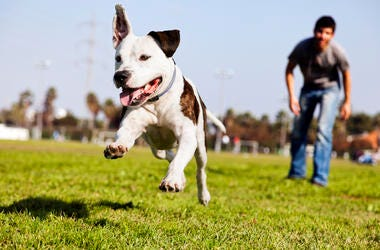 A Pitbull dog mid-air, running after its chew toy with its owner standing close by.