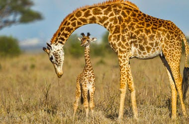 A newly born Masai Giraffe calf with its Mother in Nairobi National Park, Kenya. The skyline of Nairobi is seen on the far horizon. The arched neck of Mother Giraffe frames the baby perfectly. These animals are also known as Maasai Giraffe, Kilimanjaro Gi