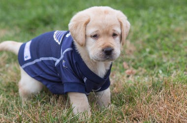 St. Louis Blues Puppy