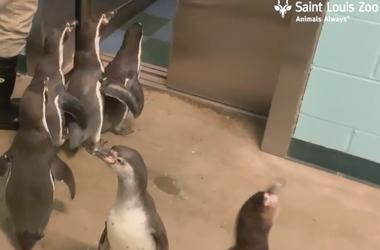 Saint Louis Zoo penguins take a 'field trip' to see friends