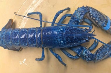 Lord Stanley the Blue Lobster