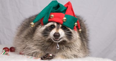 A snake-sniffing dog and a Christmas raccoon