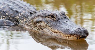Alligatort