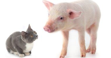 K-State research on COVID-19 in cats and pigs