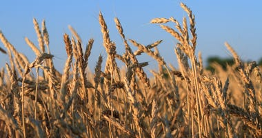 K-State researchers get $1M to improve wheat diversity