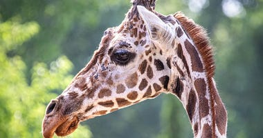 Giraffe passes away at the Sedgwick County Zoo