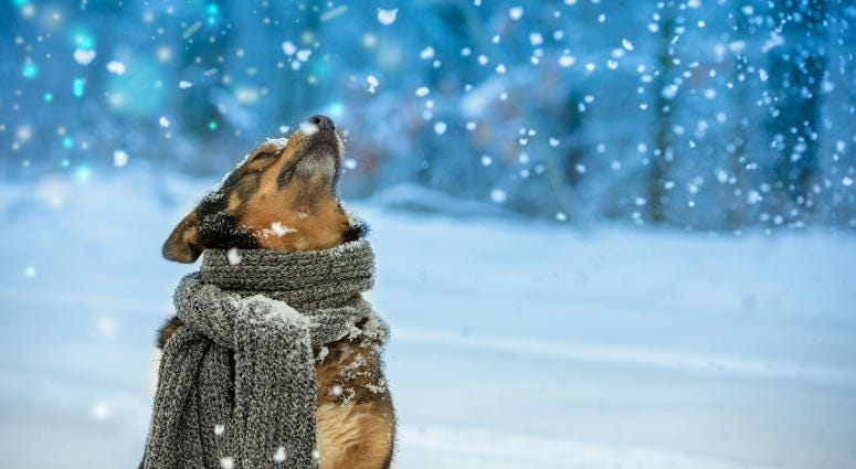 Portrait of a dog with a knitted scarf tied around the neck walking in snow