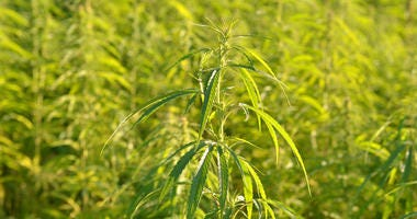 Licensing applications to grow industrial hemp up in Kansas