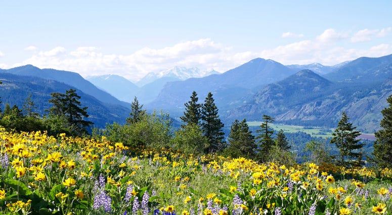 Wild flowers growing near a Washington mountain