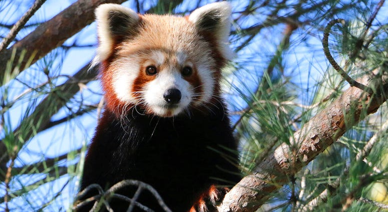 This photo released by Saint-Martin-la-Plaine zoo shows the red panda that broke out of a zoo in the Rhone region of southeastern France, Friday, Nov. 15, 2019.