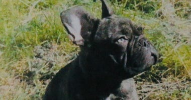 Cain, the missing French Bulldog