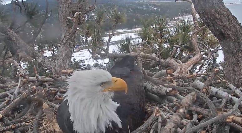 Eagle at Big Bear