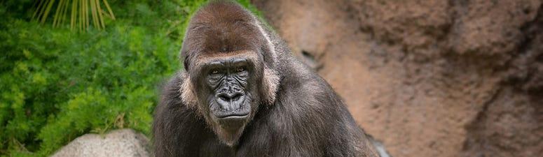 UPDATE: LA Zoo New's Gorilla Has Been Named