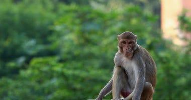 Monkeys in India - Getty