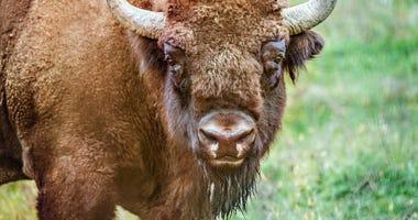Bison (GETTY)