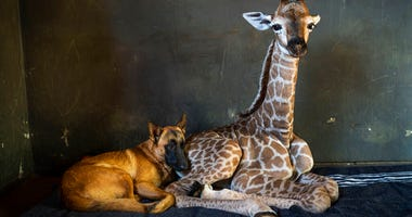 In this Friday Nov 22, 2019 file photo, Hunter, a young Belgian Malinois, keeps an eye on Jazz, a nine-day-old giraffe at the Rhino orphanage in the Limpopo province of South Africa.