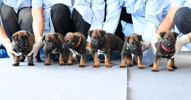 Beijing Municipal Public Security Bureau shows puppies, part of the cloned police dog program, lined up for a group photo at the bureau's police dog base.