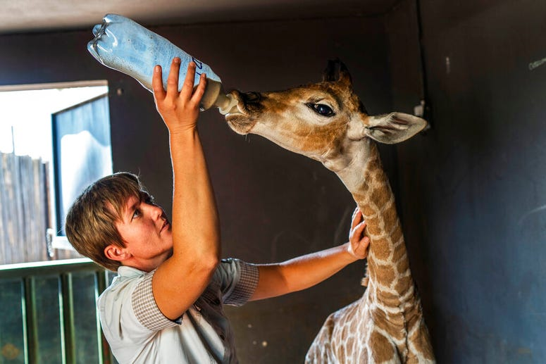 In this Friday Nov 22, 2019 file photo, Janie Van Heerden feeds Jazz, a nine-day-old giraffe at the Rhino orphanage in the Limpopo province of South Africa.