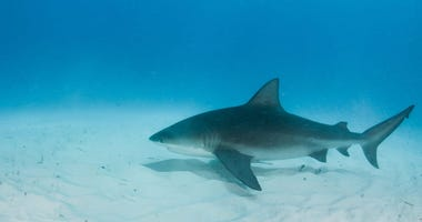 Bull Sharks Are Making a Comeback