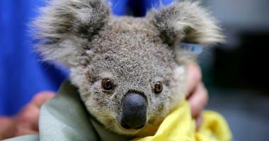 A koala named Pete from Pappinbarra at The Port Macquarie Koala Hospital on November 29, 2019 in Port Macquarie, Australia.