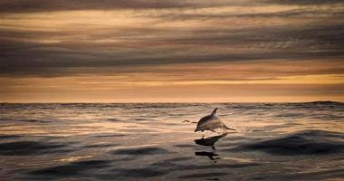 """A photo from the island's tourism site shows a """"common dolphin on route to the Great Blasket Island by George Karbus."""""""