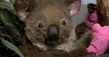 Koala rescued in Australia