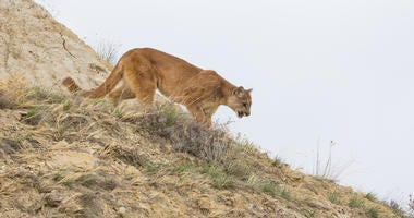 Mountain Lion that Attacked 3-Year-Old Boy Euthanized